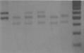 AmpFLP gel of D1S80 locus.png