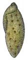 Amphibulima browni shell 2.png