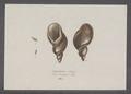 Amphibulina oblonga - - Print - Iconographia Zoologica - Special Collections University of Amsterdam - UBAINV0274 089 03 0010.tif