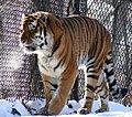 Amur (siberian) tiger prowling.jpg