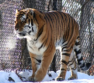 Siberian Tiger Introduction Project - A Siberian tiger at Minnesota Zoo.