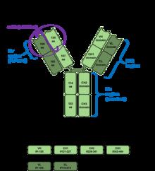 Immunoglobulin G - Wikipedia