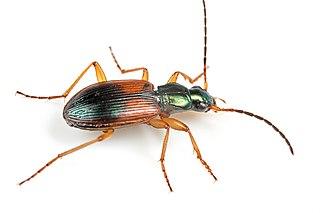 <i>Anchomenus dorsalis</i> Species of beetle