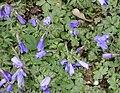 Anemone blanda in Jardin des Plantes 01.jpg