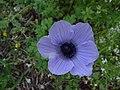 Anemone coronaria - purple.jpg
