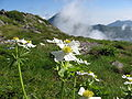 Anemone narcissiflora 01.jpg