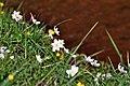 Anemone nemorosa (34514685072).jpg