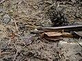 Anguis fragilis-3.jpg