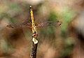 Anisoptera near Joranda Water Fall Simlipal Biosphere Reserve.jpg
