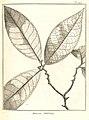 Annona ambotay Aublet 1775 pl 249.jpg