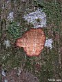 Annona salzmannii, araticum - Flickr - Tarciso Leão.jpg