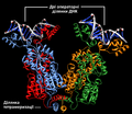 Annotated Theoretical Model of Bound Tetrameric Lac Repressor uk.png