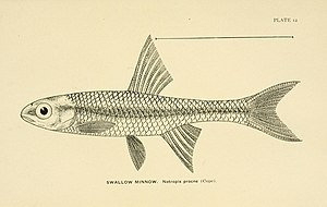 Swallowtail shiner - Drawing of Notropis procne
