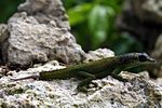 Anolis extremus with missing tail.jpg