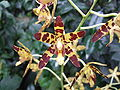 Ansellia africana BDB22.jpg