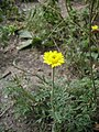 Anthemis tinctoria flower (10).jpg