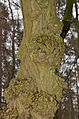 Anthracnose - canker - Baumkrebs - Pflanzenkrebs - Chancre - antracnosis - 03.jpg