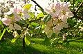 Apfelbaumblüte.JPG