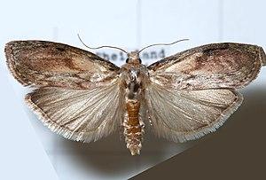 Aphomia - Bee moth (A. sociella) specimen