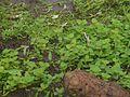 Aponogeton satarensis Sundararagh., A.R.Kulk. & S.R.Yadav (5872108634).jpg