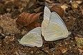 Appias albina-Aralam-2016-10-29-002.jpg