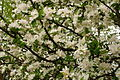 Apple-bloom-flowers-everywhere - West Virginia - ForestWander.jpg