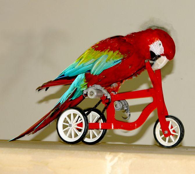 671px-Ara_chloroptera_-trick_cyclist_-Pa