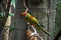 Ara rubrogenys -Tulsa Zoo, Oklahoma, USA-8a.jpg