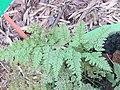 Araiostegia hymenophylloides at Periya (2).jpg