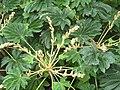 Araliaceae Rice-paper plant IMG 4118 (5675626012).jpg