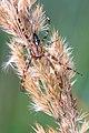 Araneus diadematus 07092009.jpg