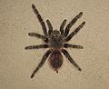 Aranha caranguejeira em parede.jpg