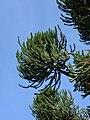 Araucaria angustifolia galho.jpg