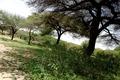 Arbres ,gabiley somaliland.TIF