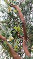 Arbutus canariensis HW.jpg