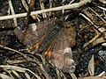 Archiearis parthenias - Orange underwing - Весенница берёзовая (40907677681).jpg