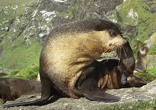 Subantarctic fur seal species of mammal