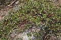 Arctostaphylos nevadensis 7751.JPG