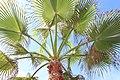 Arecales - Livistona chinensis - 1.jpg