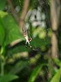 Argiope keyserlingi eating ladybird.jpg