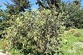 Argyrocytisus battandieri - Jardín Botánico de Barcelona - Barcelona, Spain - DSC09191.JPG