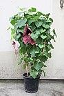 Aristolochia grandiflora (20577286639).jpg