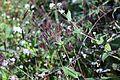 Arthraxon hispidus 03.JPG