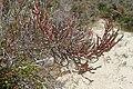 Arthrocnemum macrostachyum kz4.jpg