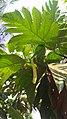 Artocarpus altilis 3.jpg