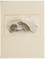 Arvicola pratensis - 1700-1880 - Print - Iconographia Zoologica - Special Collections University of Amsterdam - UBA01 IZ20500125.tif