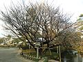 Asahisakura Cherry Tree in Kenroku Garden 2.JPG