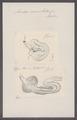 Ascidia mamillata - - Print - Iconographia Zoologica - Special Collections University of Amsterdam - UBAINV0274 092 01 0004.tif