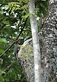 Ashy Woodpeckers (Mulleripicus fulvus) on tree trunk.jpg