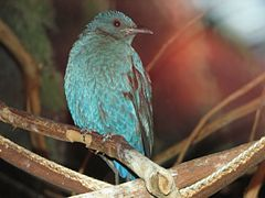 AsianFairyBluebird4.jpg